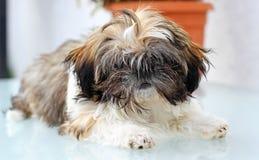 Puppy shitzu Royalty Free Stock Image