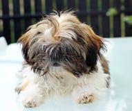 Puppy shitzu Royalty Free Stock Photography
