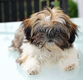Puppy shitzu Stock Photos