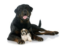 Puppy shitzu and rottweiler Royalty Free Stock Images