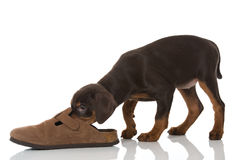 Puppy with shoe Stock Images