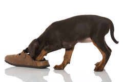 Puppy with shoe Stock Photos