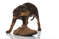 Puppy with shoe Royalty Free Stock Photo