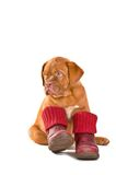 Puppy in Shoes Royalty Free Stock Photography