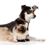 Puppy and siamese cat together. isolated on white background Stock Photo
