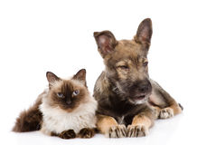 Puppy and siamese cat together. isolated on white background Stock Photography