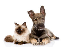 Puppy and siamese cat together.  on white backgrou Stock Photo
