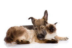 Puppy and siamese cat together.  on white backgrou Royalty Free Stock Images
