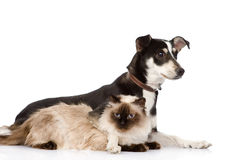 Puppy and siamese cat together.  on white backgrou Stock Image