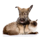 Puppy and siamese cat together.  on white backgrou Stock Images