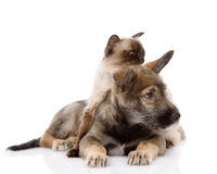 Puppy and siamese cat together.  on white backgrou Royalty Free Stock Image