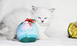 Puppy of siberian cat with Christmas ball Royalty Free Stock Image