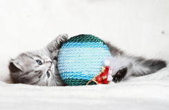 Puppy of siberian cat with Christmas ball Stock Photo