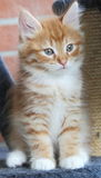 Puppy of siberian cat, red version Stock Photos