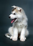 Puppy of siberian husky Stock Photo