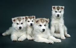 Puppy of siberian husky Stock Image