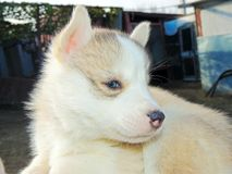 Puppy Siberian Husky Stock Photos