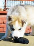 Puppy Siberian Husky. Siberian Husky puppy beautiful dog Royalty Free Stock Photography