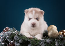 Puppy Siberian Husky on a blue background Royalty Free Stock Image