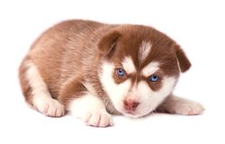 Puppy of siberian husky, brown color, isolated on white background Royalty Free Stock Image