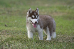 Puppy of Siberian husky Royalty Free Stock Photos