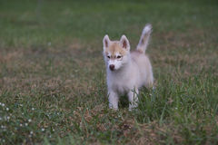 Puppy of Siberian husky Royalty Free Stock Photography