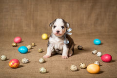 Puppy of the Siberian Husky with Easter eggs. stock photo