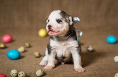 Puppy of the Siberian Husky with Easter eggs. stock images
