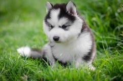 Puppy siberian husky  on grass Royalty Free Stock Photos