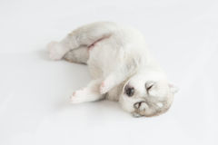 Puppy siberian husky sleeping. On fur Royalty Free Stock Photography