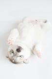 Puppy siberian husky sleeping. On fur Stock Images