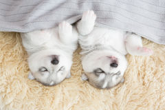 Puppy siberian husky sleeping. On fur Stock Photo
