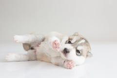 Puppy siberian husky sleeping. On fur Stock Photography