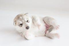 Puppy siberian husky sleeping. On fur Stock Photos