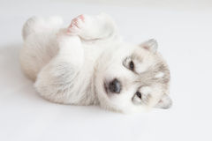 Puppy siberian husky sleeping. On fur Royalty Free Stock Image