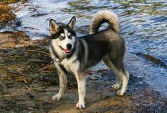 Puppy Siberische Schor Royalty-vrije Stock Afbeelding