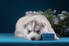 Puppy Siberische Schor op een blauwe achtergrond Stock Fotografie