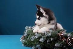 Puppy Siberische Schor op een blauwe achtergrond Stock Foto's