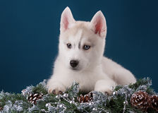 Puppy Siberische Schor op een blauwe achtergrond Royalty-vrije Stock Fotografie