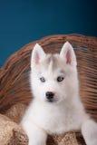 Puppy Siberische Schor op een blauwe achtergrond Stock Foto