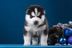 Puppy Siberische Schor op een blauwe achtergrond Stock Afbeeldingen