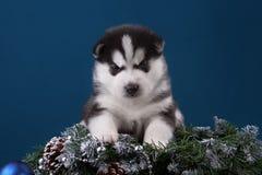 Puppy Siberische Schor op een blauwe achtergrond Royalty-vrije Stock Afbeeldingen