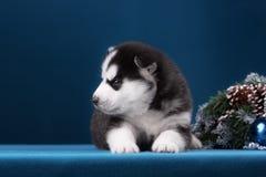 Puppy Siberische Schor op een blauwe achtergrond Royalty-vrije Stock Afbeelding