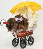 Puppy with a sidecar in studio Royalty Free Stock Photo