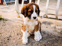 Puppy On The Sidewalk. A very cute pet puppy on the sidewalk howling to keep the strangers away from his area Royalty Free Stock Image