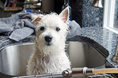 Puppy in sink. Royalty Free Stock Photo