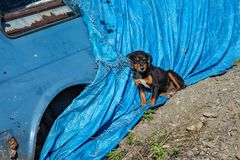The puppy sits next to the abandoned old car royalty free stock image