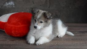 Puppy sits on a pillow in the shape of heart. Puppy sitting on a red and white pillow in the shape of a heart. Grey background, selective focus stock video