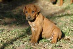 Puppy sitting Stock Image