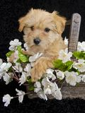 Puppy Sitting in Basket of White Flowers Royalty Free Stock Photos